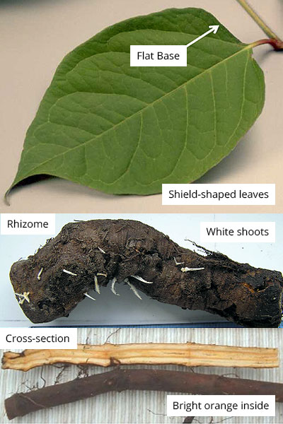 Japanese Knotweed Identification - Key Features