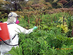 Japanese Knotweed Solutions - Herbicide Spraying Programme