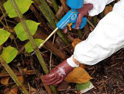 Japanese Knotweed Solutions - Stem Injection