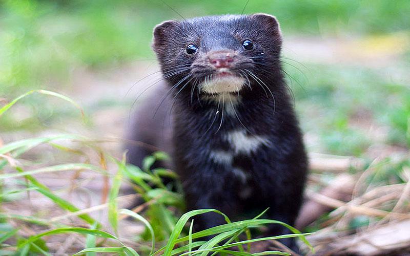 Invasive Species - American Mink