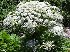 Invasive Species - Giant Hogweed