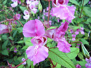 Invasive Species - HIMALAYAN BALSAM