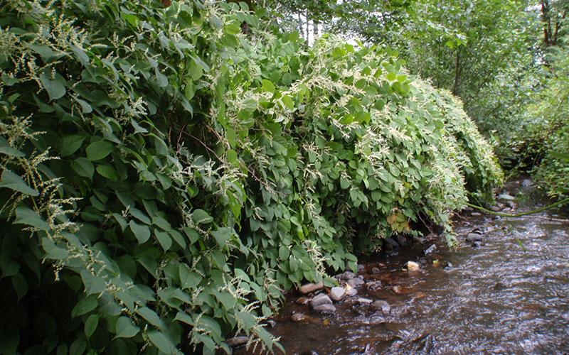 Japanese Knotweed - In riparian areas