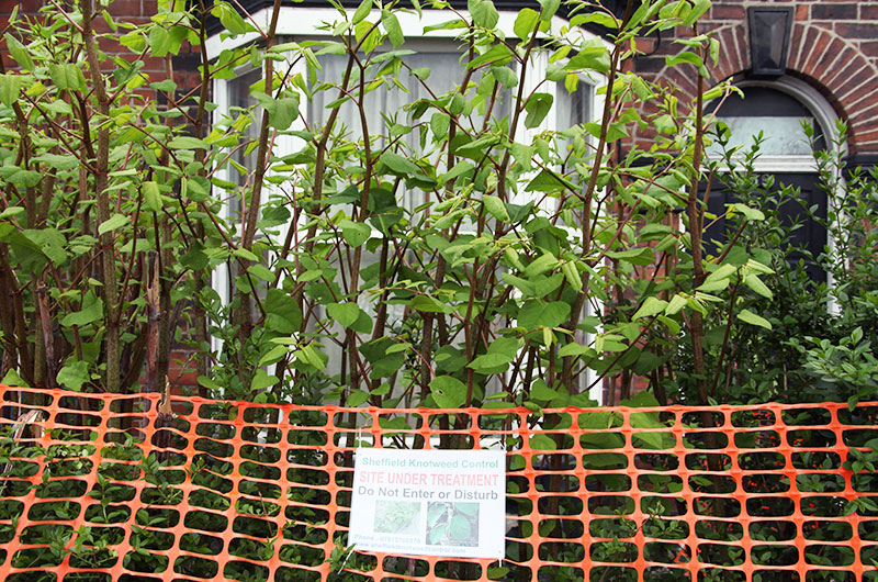 Japanese knotweed in Ireland and the law