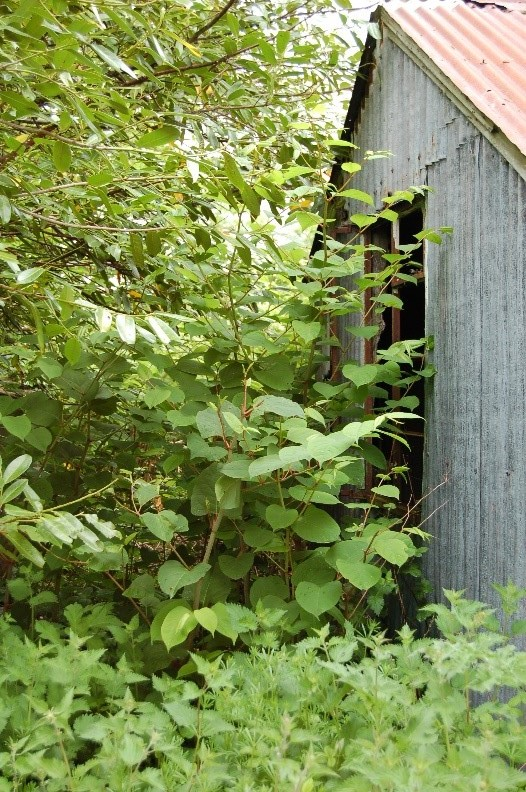 Anese Knotweed On Your Property