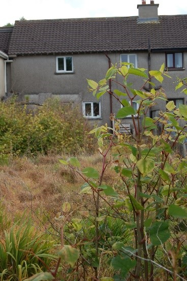 How to Kill Japanese Knotweed when it invades
