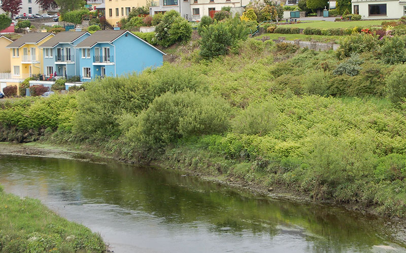 Japanese Knotweed Ireland - The River Laune in Killorglin Co Kerry 2
